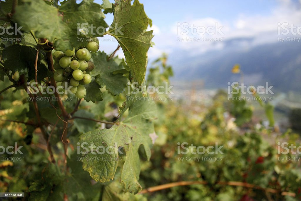 Vineyard in Switzerland stock photo