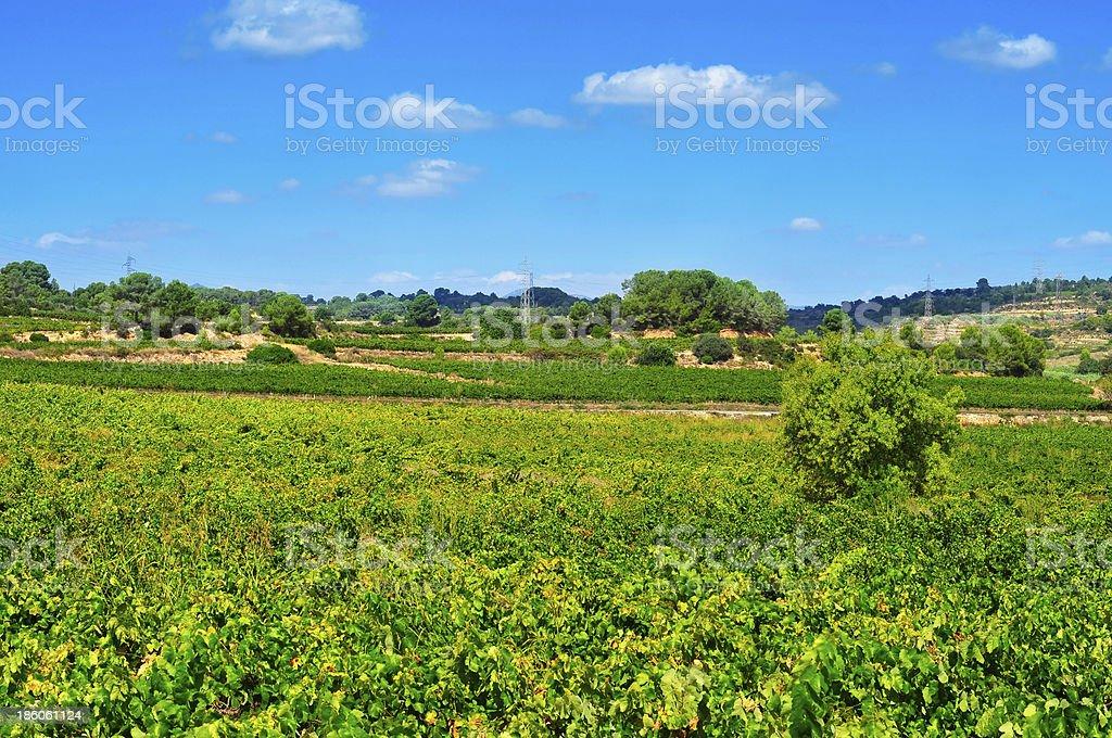vineyard in Tarragona, Catalonia, Spain stock photo