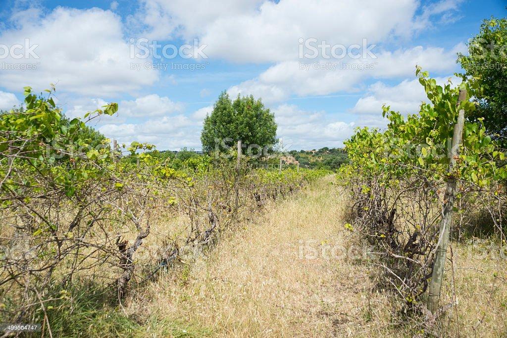 Vineyard in the Algarve royalty-free stock photo