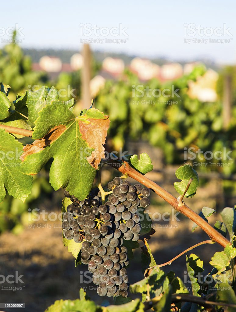 Vineyard in the autumn with ripe grapes ready for harvesting royalty-free stock photo