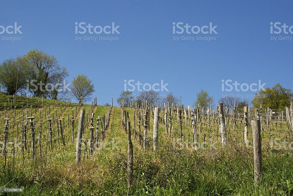 Vineyard in the Basque Country stock photo