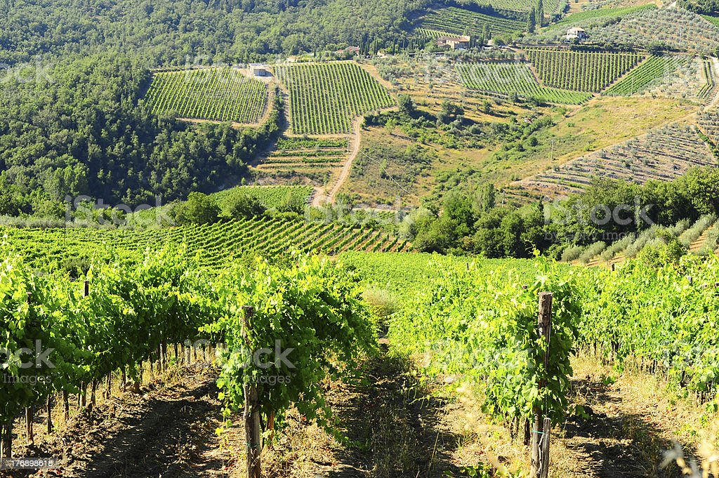Vineyard In The Chianti royalty-free stock photo