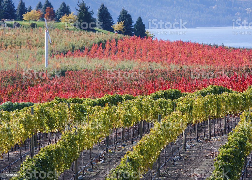 Vineyard in the Fall stock photo