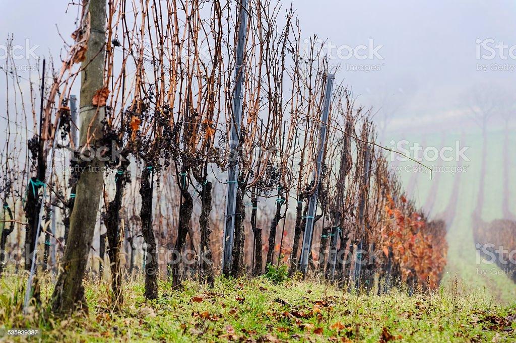 Vineyard in the fog stock photo
