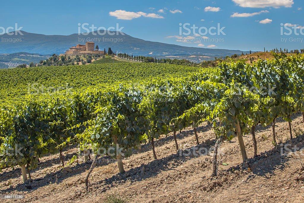 Vineyard in the hills stock photo