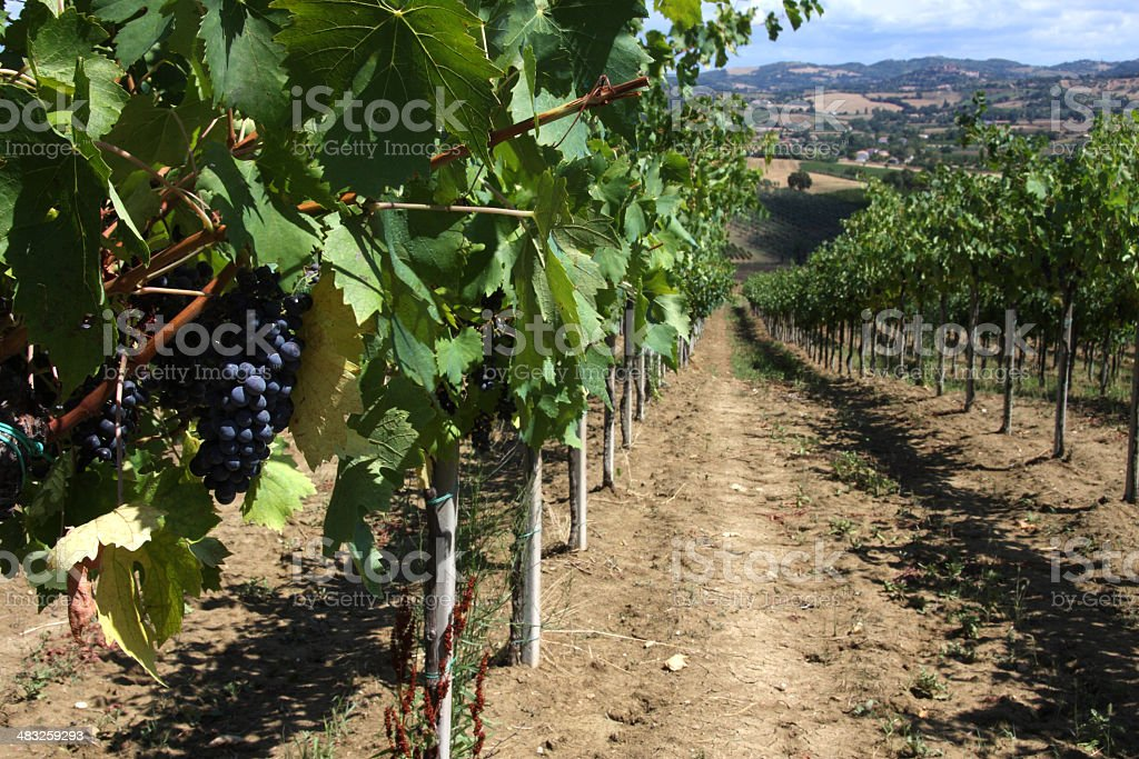 Vineyard in the Marches region royalty-free stock photo