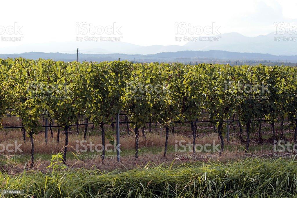 Vineyard in the morning sun stock photo