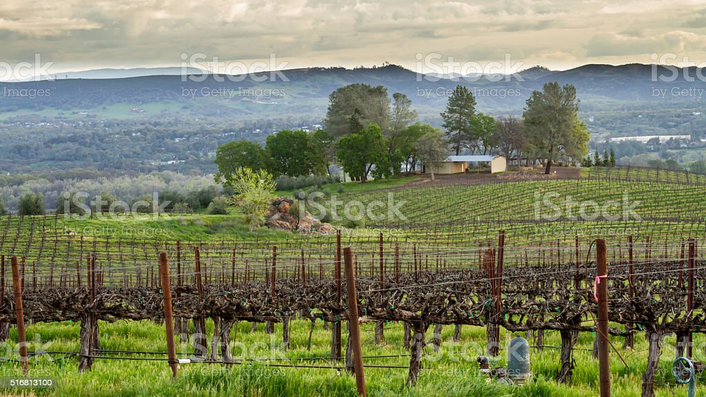 Vineyard in the Morning Sunlight stock photo