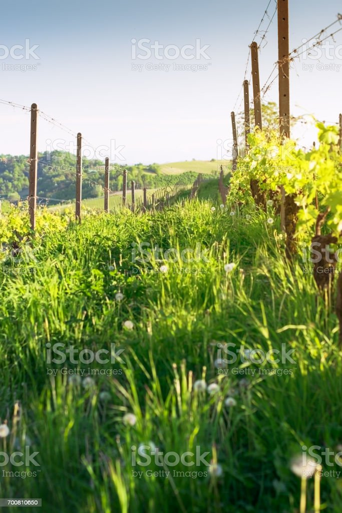 Vineyard in the rays of the sunset stock photo