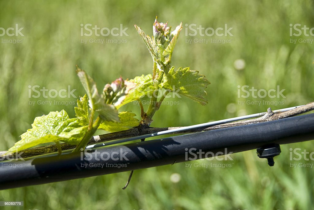 Vineyard in the Spring Series stock photo