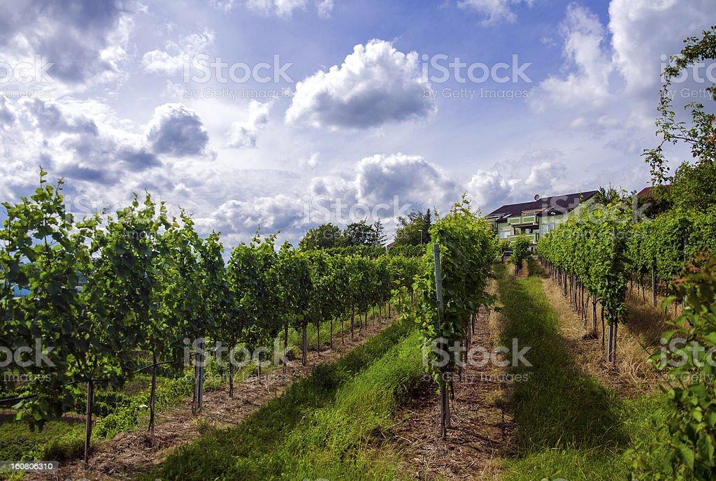 Vineyard in the summer of Stuttgart royalty-free stock photo