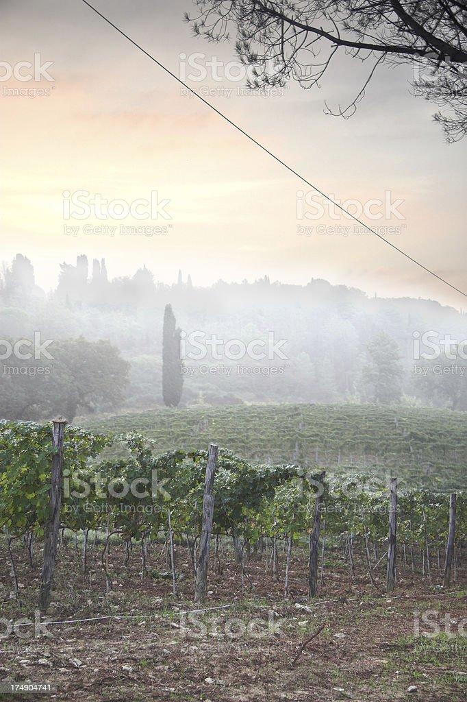 Vineyard in Tuscany, 6am stock photo