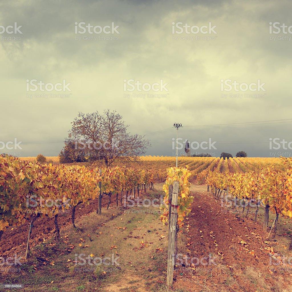 vineyard in Tuscany royalty-free stock photo
