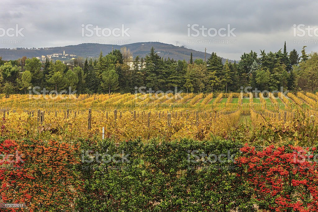 Vineyard in Valpolicella royalty-free stock photo