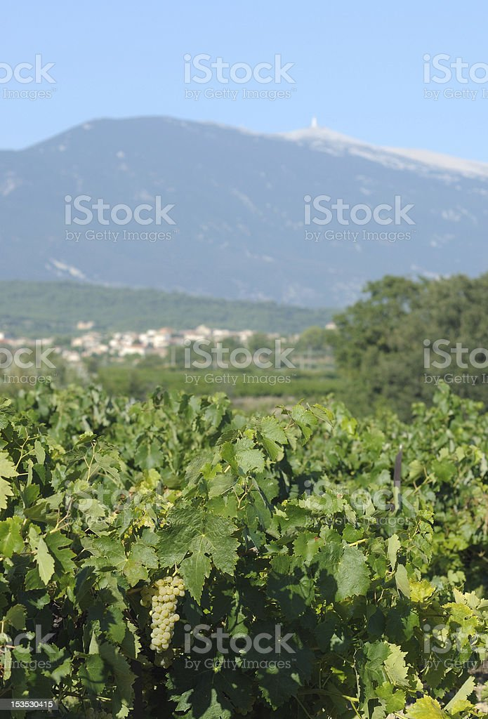 Vineyard in Vaucluse - Vignoble au pied du Mont Ventoux stock photo