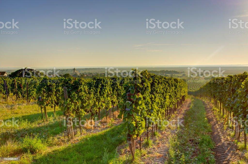 Vineyard in very early morning sun stock photo