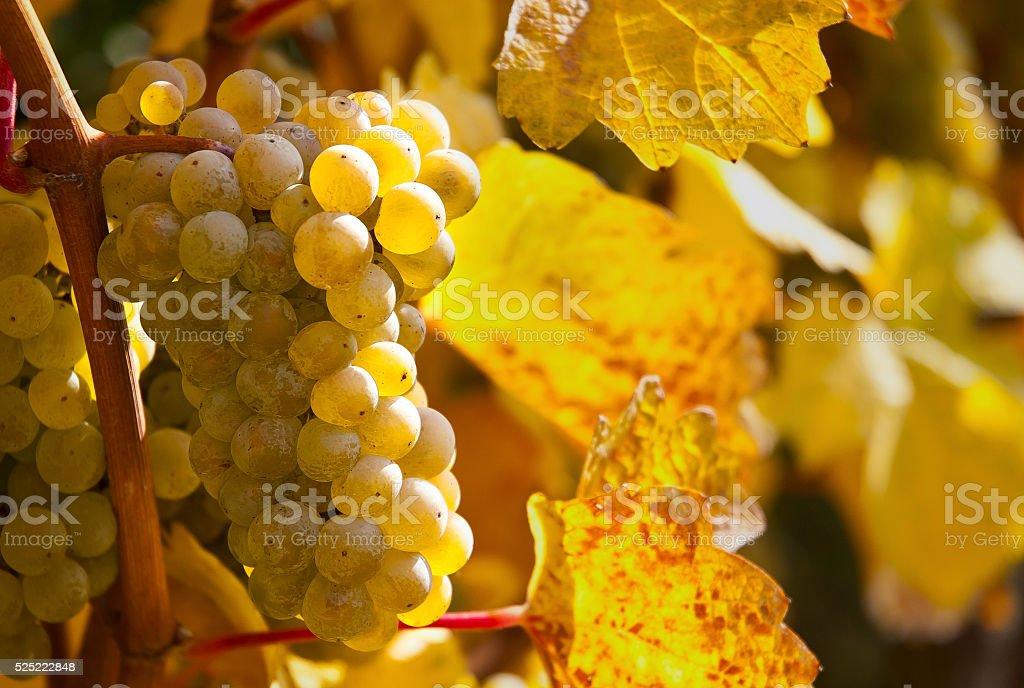 Vineyard in Wachau stock photo