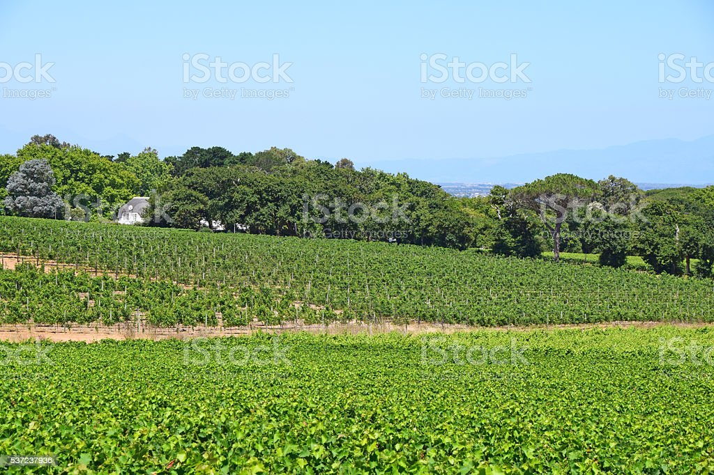 Vineyard in Wine Country stock photo