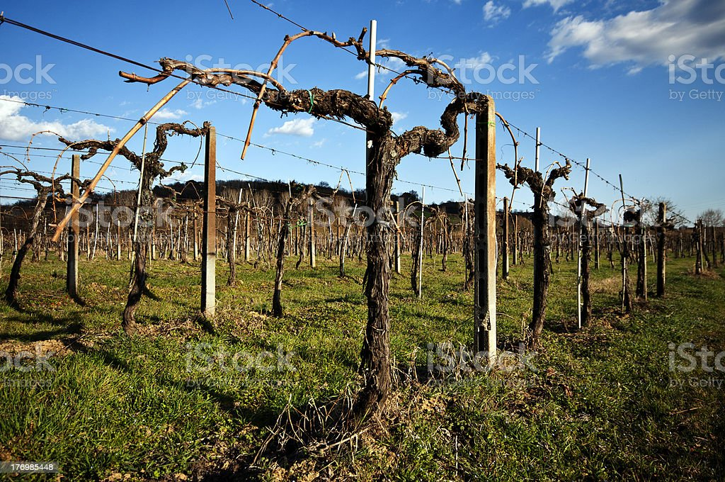 Vineyard in winter royalty-free stock photo