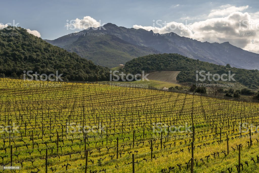 Vineyard in winter sun at Patrimonio in Corsica stock photo