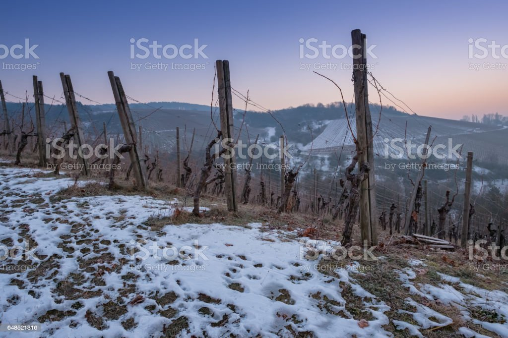 Vineyard in winter with snow in the dawn stock photo