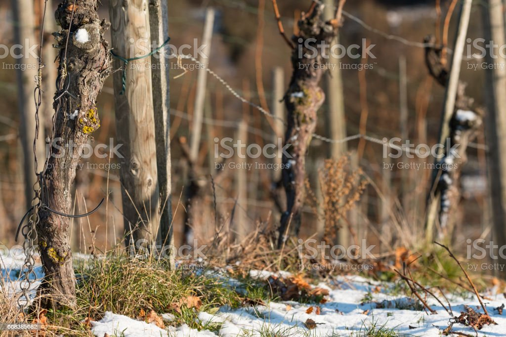 Vineyard in winter with with snow and old vines stock photo