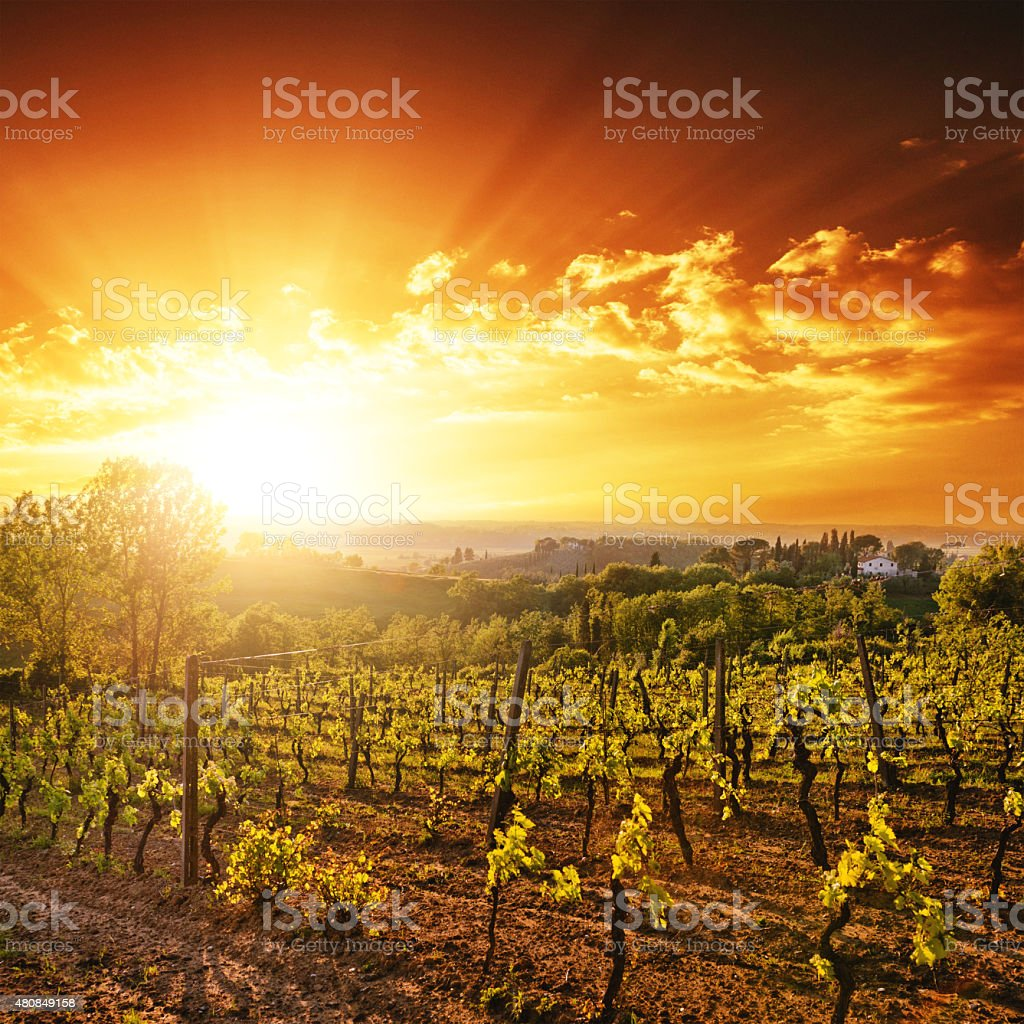 vineyard landscape at sunset stock photo