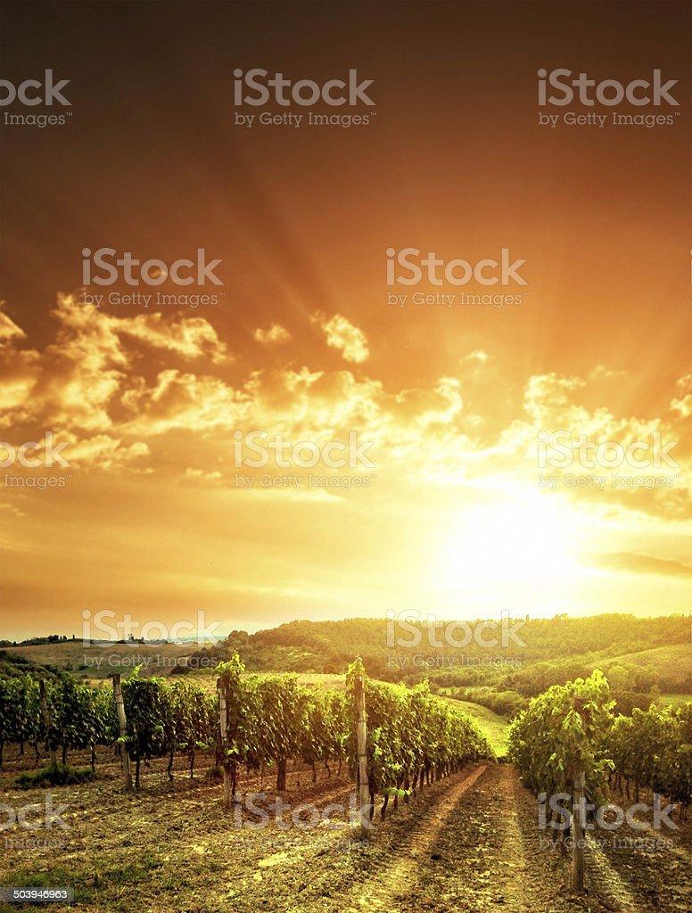 vineyard landscape at sunset stock photo