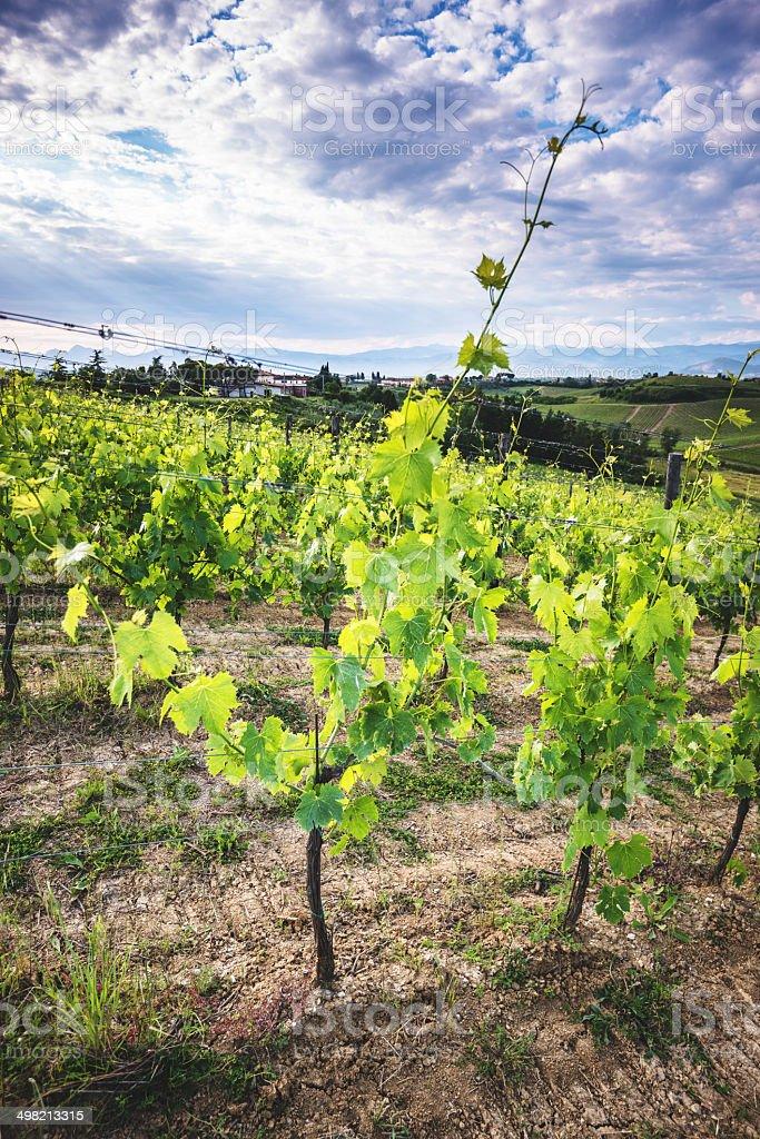 vineyard landscape in tuscany royalty-free stock photo