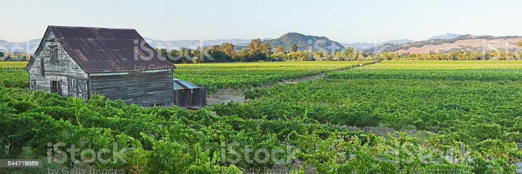 Vineyard Landscape Panorama - Summer stock photo