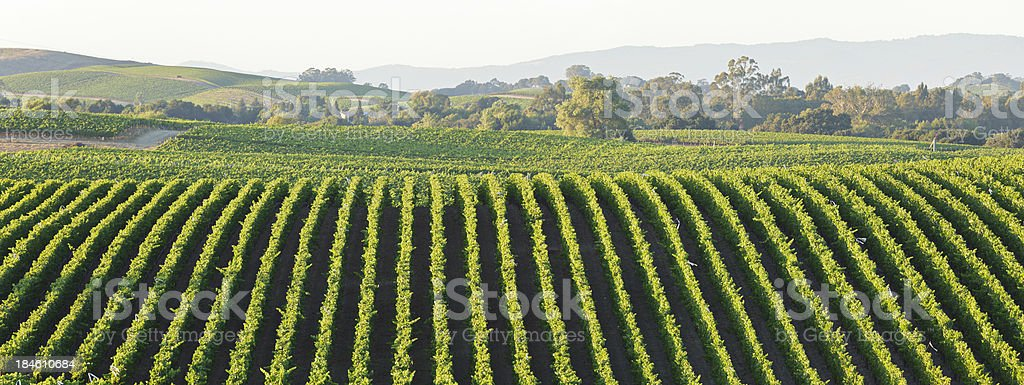 Vineyard Landscape royalty-free stock photo