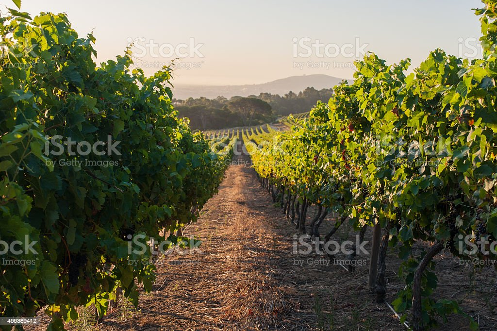 vineyard landscape with grapevines at sunset in stellenbosch, south africa stock photo