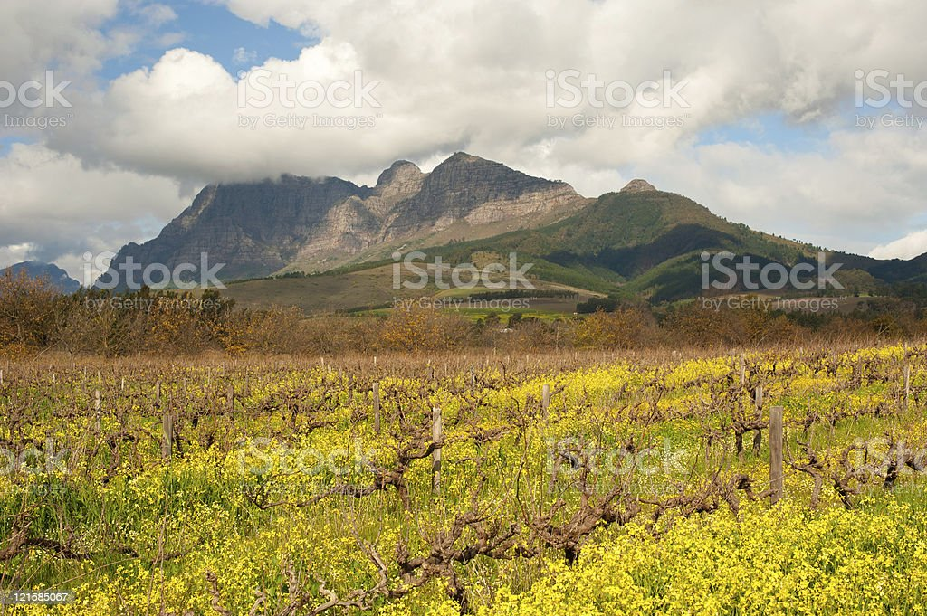 vineyard landscape with mountains near franschhoek, south africa royalty-free stock photo