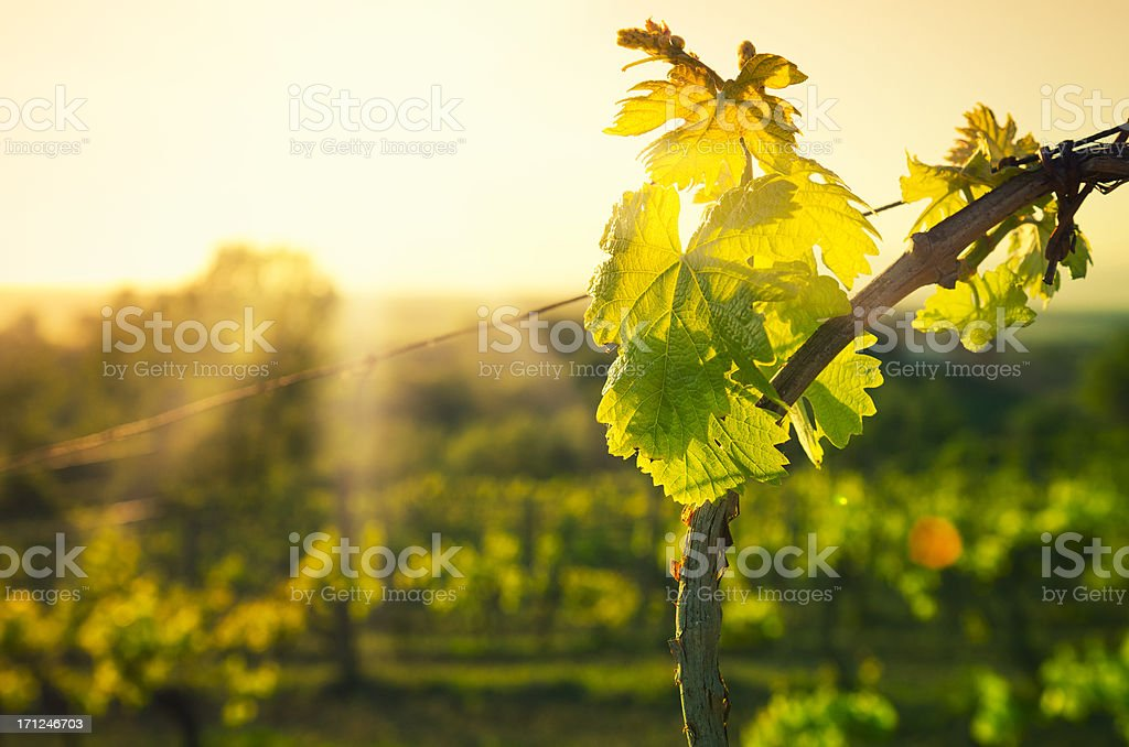 Vineyard leaf at Chianti Region hills on sunset in Tuscany stock photo