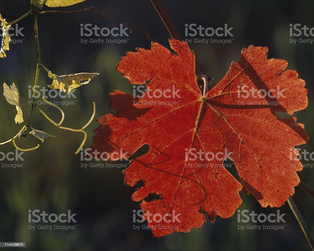 Vineyard leaf royalty-free stock photo