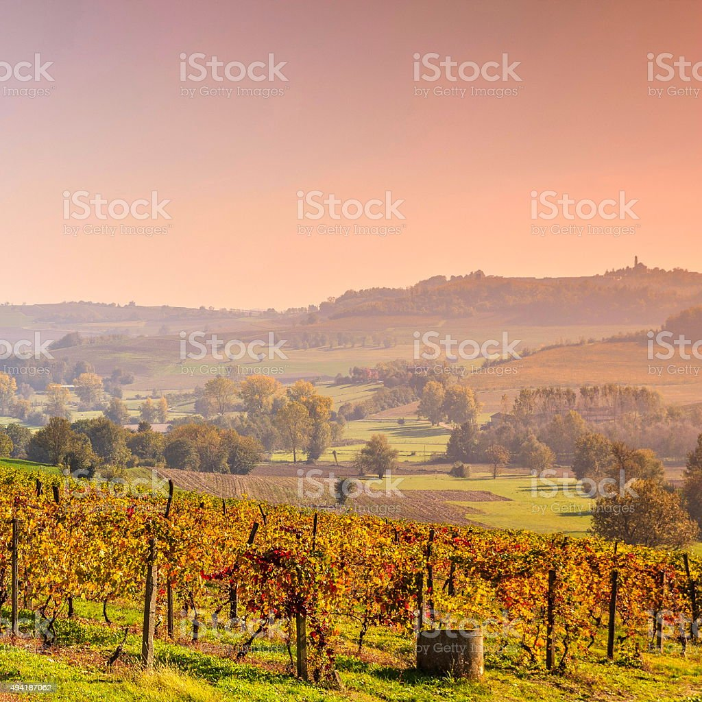 Vineyard leaves in autumn at sunset stock photo