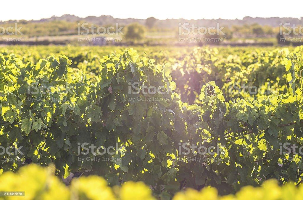vineyard lens flare right defocused at bottom stock photo
