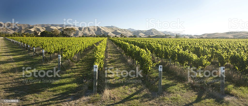 Vineyard, Marlborough, New Zealand stock photo