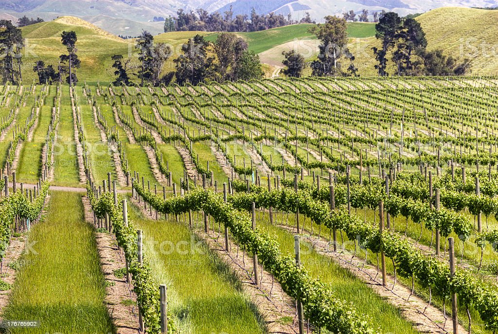 Vineyard Marlborough New Zealand royalty-free stock photo