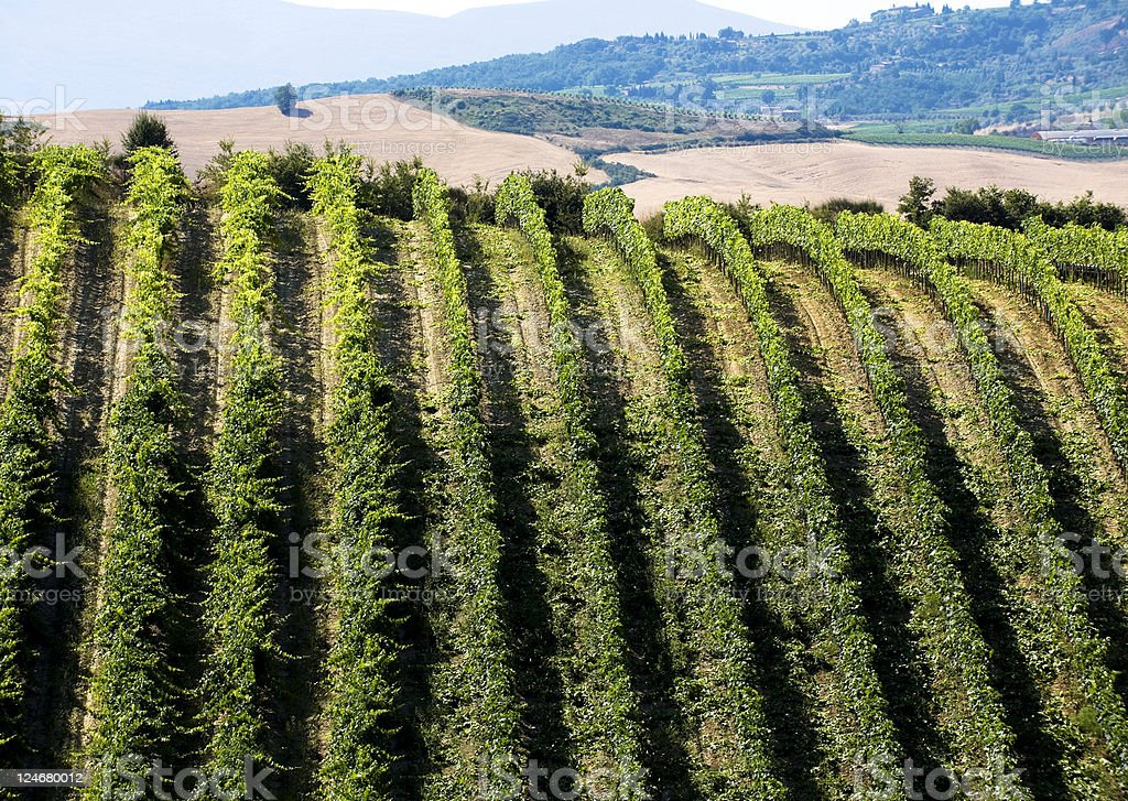 Vineyard Montalcino. Color Image royalty-free stock photo