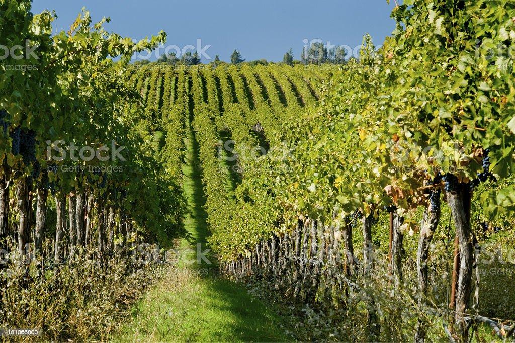 Vineyard, Napa, California royalty-free stock photo