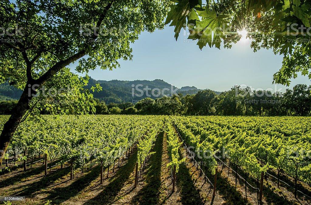 Vineyard, Napa stock photo