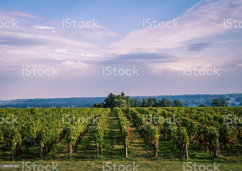 Vineyard near Bordeaux, France stock photo