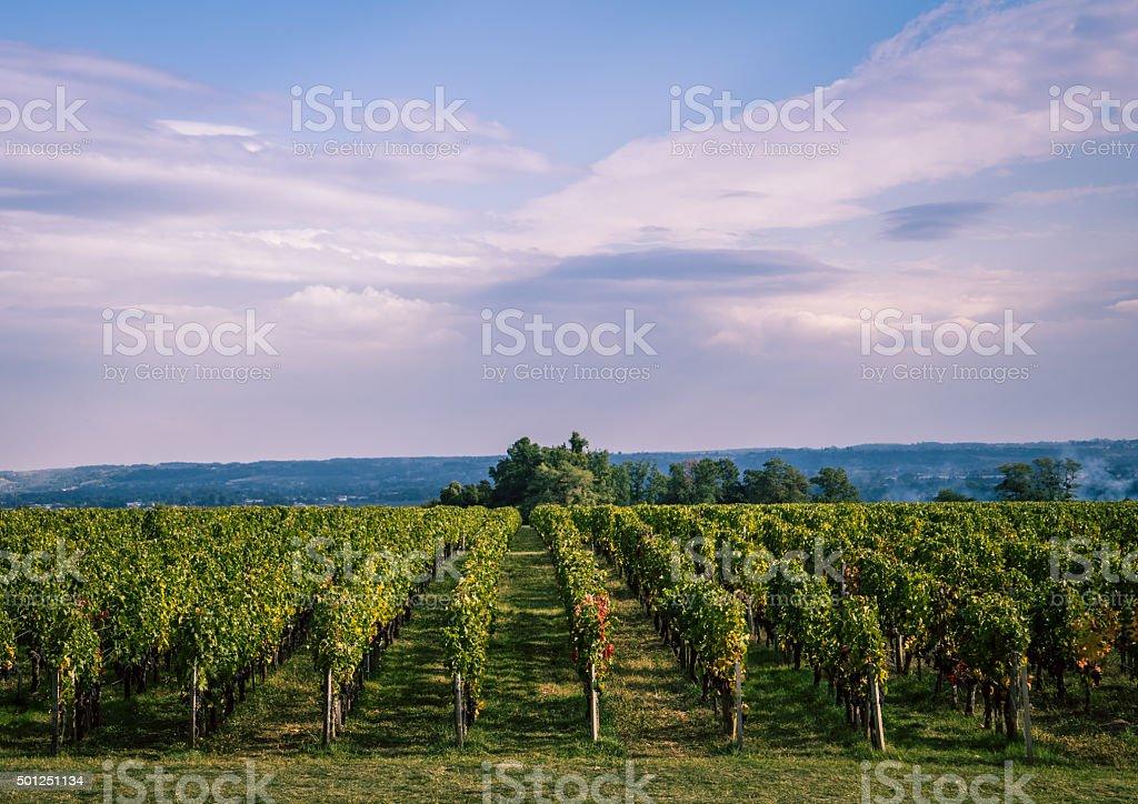 Vineyard near Bordeaux, France stock photo
