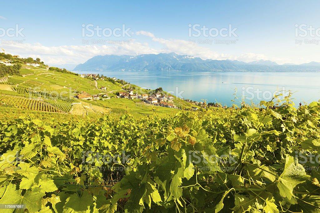 vineyard near Lac leman stock photo