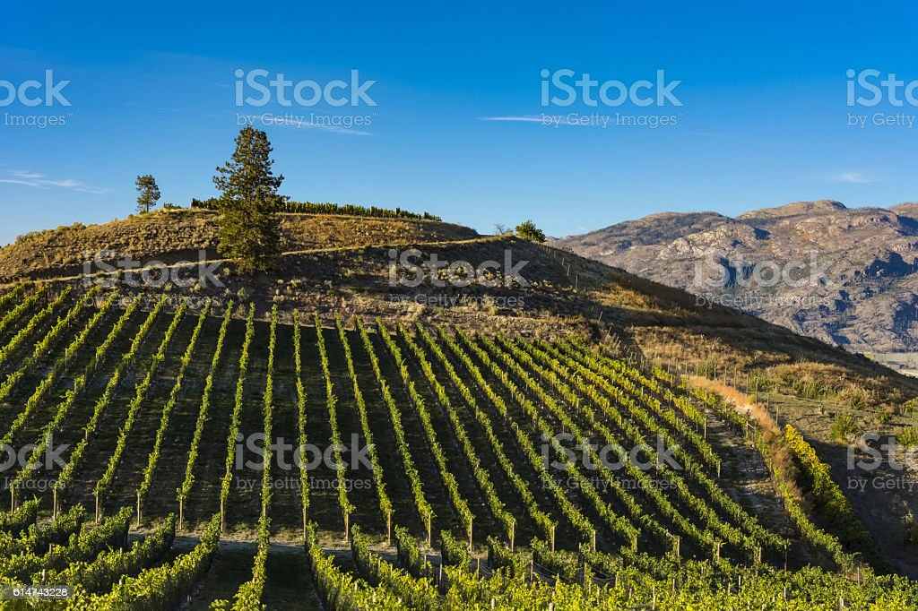 Vineyard near Okanagan Lake near Summerland British Columbia Canada stock photo
