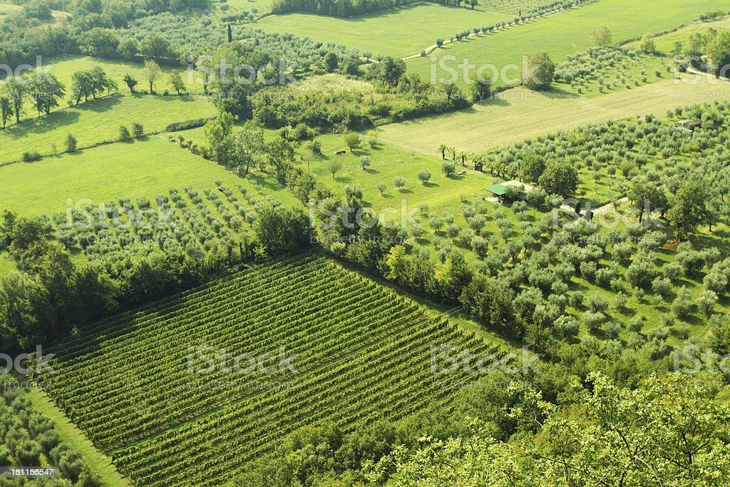 vineyard of grape royalty-free stock photo