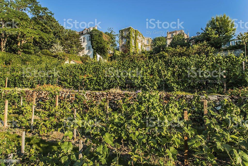 vineyard of Montmartre paris city France stock photo