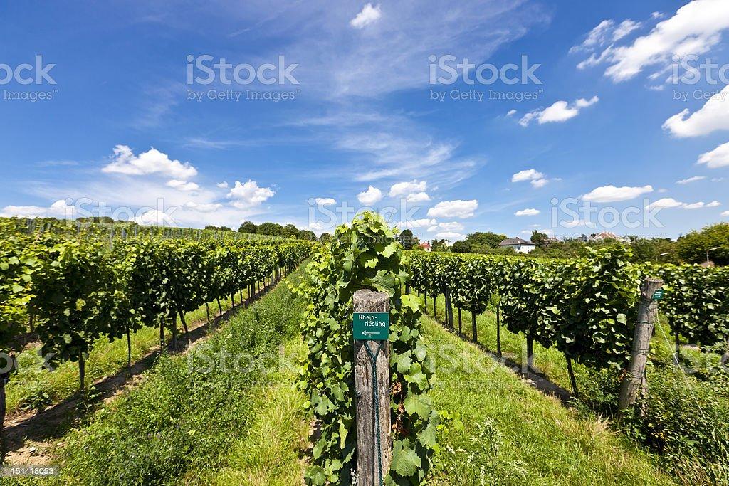 Vineyard of Riesling grape stock photo