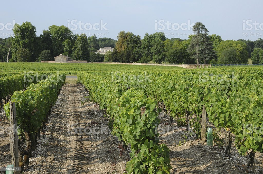 Vineyard of Sauternais in summer stock photo
